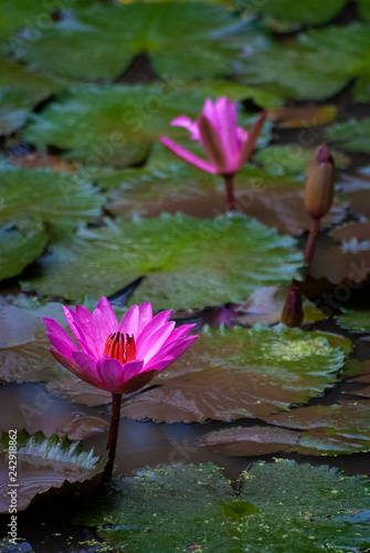 Fotografie, Obraz  Blooming Lotus Flowers on a Lily Pond at a Balinese Temple