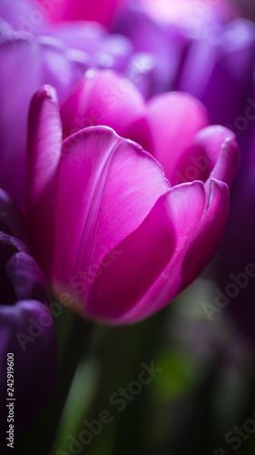Obraz na plátně Back lit tulip in darkness close up
