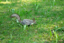 Curious Squirrel In The Park On The Green Grass