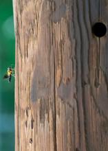 Bee On Wood Telephone Pole With Woodpecker Hole