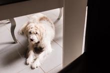 Cute White Dog Lies Under A Table