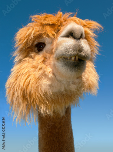 Poster Lama lama portrait on blue sky vertical funny animal close up