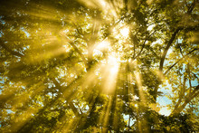 Sunlight Shine Through Warm Autumn Forest / Light Through The Mist Fog And Trees Summer Sunshine