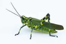 The Soldier Grasshopper Or Lit...
