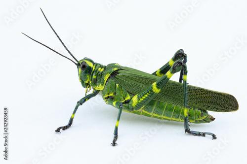 Fotografie, Tablou The soldier grasshopper or little Brazilian grasshopper (Chromacris speciosa), a species that represents the green and yellow, preponderant colors of the Brazilian flag
