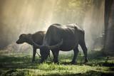 Bizon w śródpolnej wsi - Zwierzęcy ssak pasający krowy czarna bawolia azjatykcia woda - 242937600