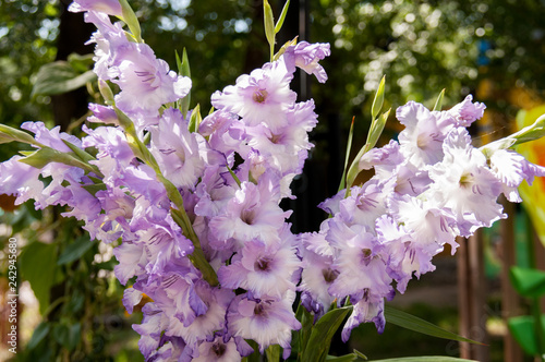 Tablou Canvas Bouquet of lilac flowers of gladioli on background of greenery in summer