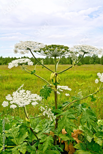 Heracleum blooming on background of sky Canvas-taulu