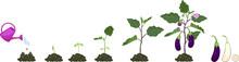 Life Cycle Of Eggplant. Growth...