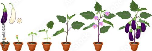 Fotografía Life cycle of eggplant