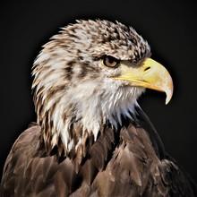 Head Of Immature Bald Eagle