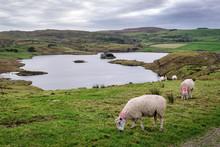 Sheep Grazing In Ireland's Cou...