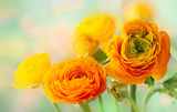 Fresh yellow ranunculus flowers