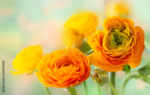Fresh yellow ranunculus flowers Fototapeta