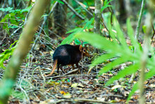 Elephant Shrews In Jozani Fore...