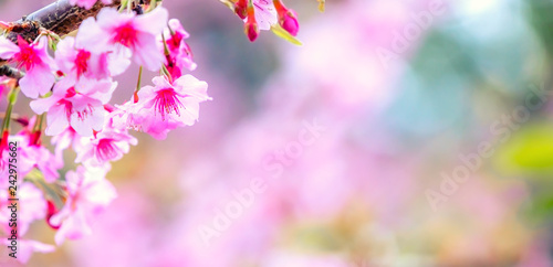 Keuken foto achterwand Kip Beautiful cherry blossoms sakura tree bloom in spring over the garden, copy space, close up.