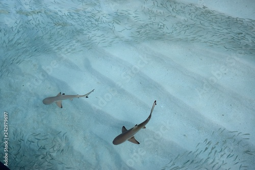 Sharks with fish