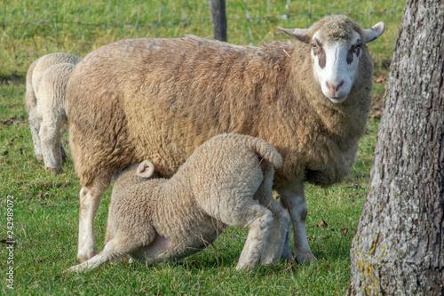 Allaitement d'un agneau