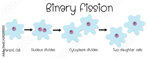 binary fission in amoeba Canvas Print