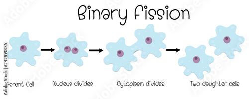 binary fission in amoeba Wallpaper Mural