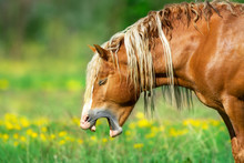 Red Draft Horse Portrait Yawning