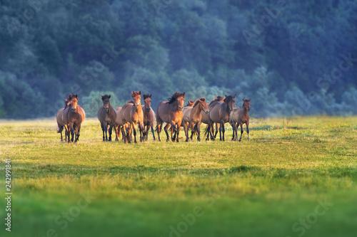 Fotografia Horse herd run on summer pasture