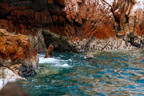 Naklejka premium Dwa lwy morskie pływające w morzu na wyspach Ballestas (Paracas, Peru)