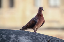 Single Laughing Dove Watching And Waiting