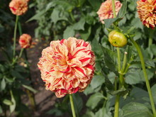 Red Yellow Flagged Pompon Colored   Flowers And But Of  Flowering Dahlia Plants, Planted In A Bed In A Park