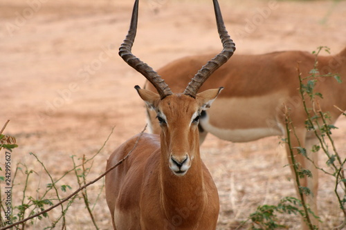 Door stickers Antelope Antilope