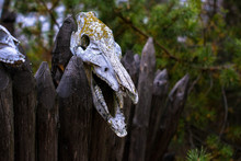 Animal Skull Against The Background Of The Forest