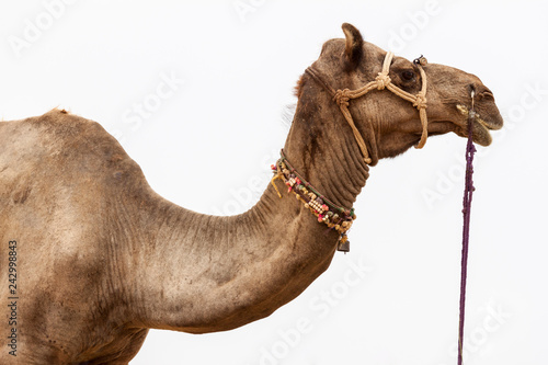 Foto op Plexiglas Kameel closeup of a camel head with a rope over a blurred white background