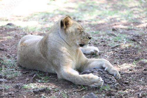 Fotografie, Obraz  Lioness is lying on the grass resting under a tree
