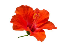 Scarlet Red Color Hibiscus Flo...