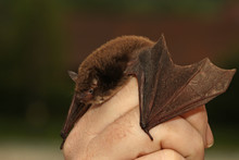 Daubentons Bat Held In A Hand....