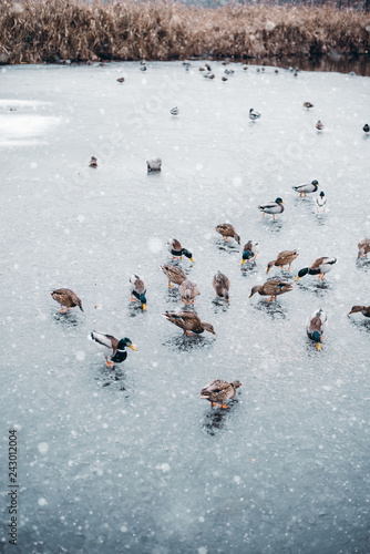 Ducks walking on a frozen lake in winter time