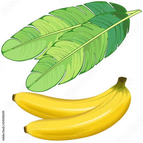 Spoed Foto op Canvas Draw Bananas Fruits and Banana Leaf Vector illustration isolated on White