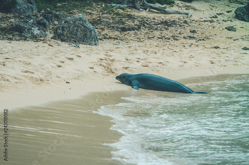 Fotografia  Monk seal walk out of the water in Hawaii, US.