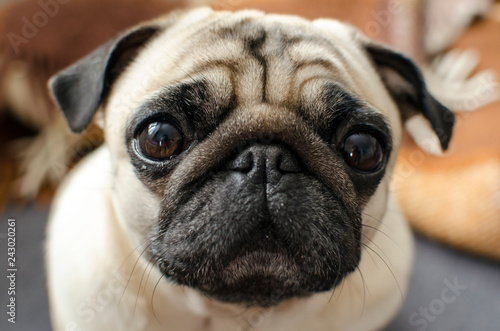 Obraz na plátně  small dog breed pug sitting on sofa and looking at you