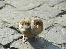Sparrow On Pavement