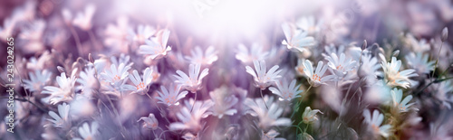 Poster Natuur Flowering white flower, springtime in meadow