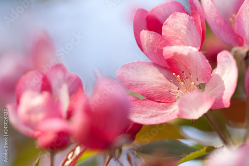 beautiful tender pink sakura flowers on a branch in a sunny garden