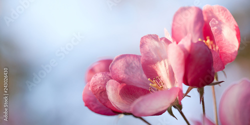beautiful tender pink sakura flowers on a branch