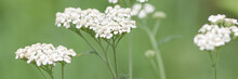 Beautiful Yarrow Flowers Growing In A Summer Field Or In A Meadow