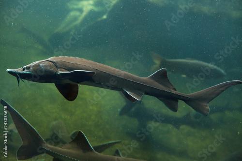 Fototapeta Siberian sturgeon (Acipenser baerii) obraz