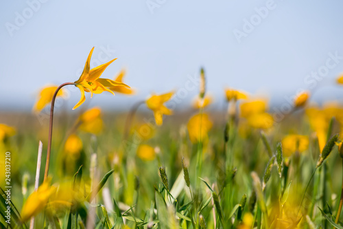 closeup wild yellow tulip flowers in a grass