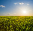 green rural field landscape at the sunset