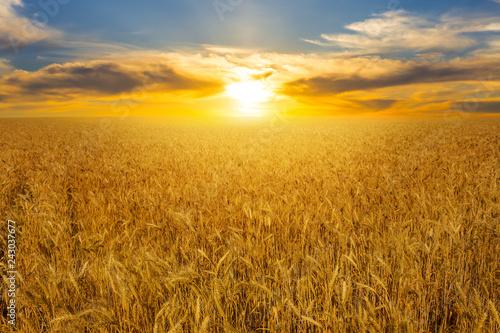 Fototapeta summer golden wheat field at the sunset obraz