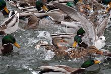Mallard Ducks Crowd Afloat. Mass Of Mallards (Anas Platyrhynchos) Wintering In City. Minsk, Belarus
