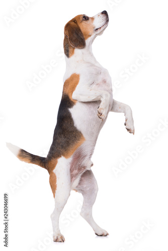 Tablou Canvas Adult beagle dog standing on hind legs isolated on white background